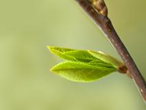 Les bourgeons sont la base de la gemmothérapie.