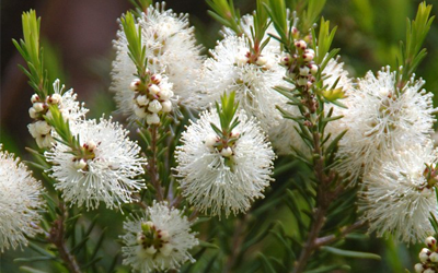 Feuilles et fleurs de Tea tree (Arbre à thé)