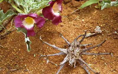 L'Harpagophytum ou griffe du diable est un anti-inflammatoire très puissant.