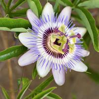 La Passiflore ou Fleur de la Passion est recommandée pour soulager les troubles du sommeil.