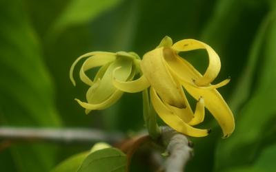 L'Ylang-Ylang est recommandée en cas de tachycardie, de palpitations et d'hypertension.